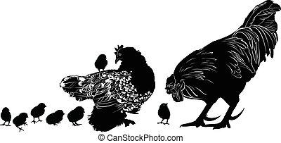 pulcini, gallina, gallo