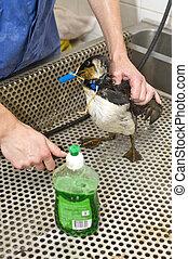 pulizia, un, olio, contaminato, guillemot