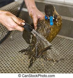 pulizia, un, olio, uccello