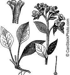 pulmão, officinale, (pulmonaria, officinalis), vindima, engraving.