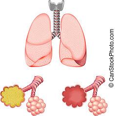 pulmões, alvéolos