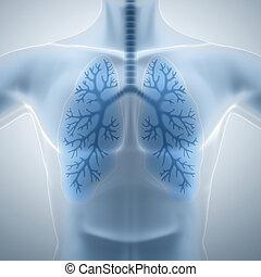 pulmões, limpo, saudável