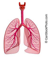 pulmões, -, pulmonar, system., vista dianteira, isolado, branco