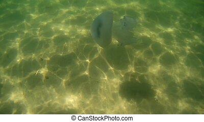 pulmo), (rhizostoma, eau, mer noire, nage, méduse