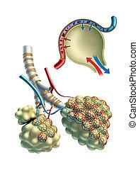 Pulmonar alveoli - Anatomical illustration showing some...