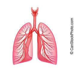 pulmonar, -, sistema, pulmões