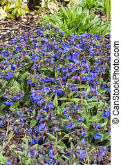 Pulmonaria 'Blue Ensign' a spring flowering plant found in the spring flower season which is commonly known  as lungwort, stock photo image