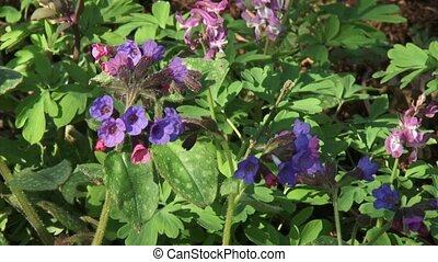 Pulmonaria officinalis, Lungwort in bloom - close up