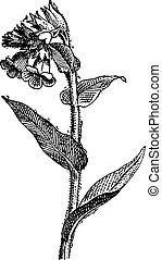 Pulmonaria spotted or lungwort, vintage engraving.