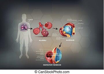 pulmones, anatomía humana, alveoli