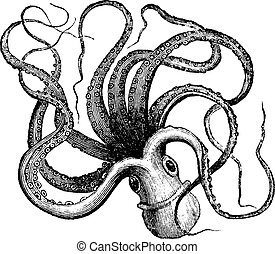 pulpo, engraving., común, vulgaris), (octopus, vendimia