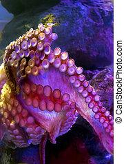 pulpo, tentáculos, vulgaris