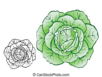 Pulpy cabbage-vector realistic illustration for food designs