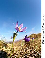 pulsatilla, flores, en, cielo azul, plano de fondo