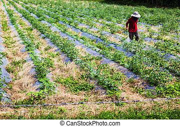 pulvérisation, pesticides