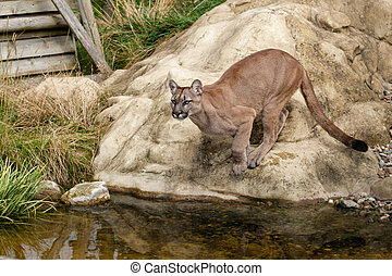 Puma About to Jump off Rock - Puma Crouching About to Jump...