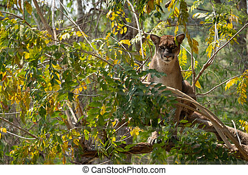 Puma climbs onto the tree.
