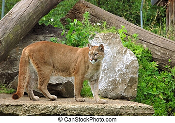 Puma, cougar. - Close-up shot of a puma, cougar in a zoo. ...