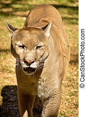 Puma, Cougar or Mountain Lion