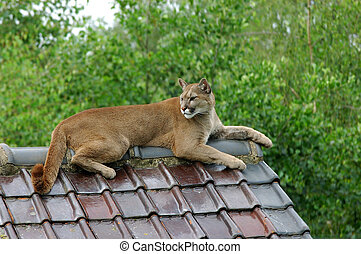 Puma, cougar. - Close-up shot of a puma, cougar resting on a...