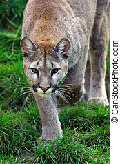 Puma - cougar