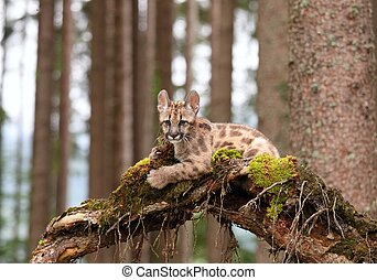 Puma cub - Puma concolor, kitten, called mountain lion in ...