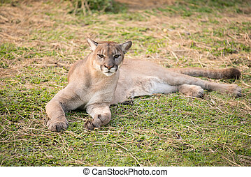 puma or cougar in zoo