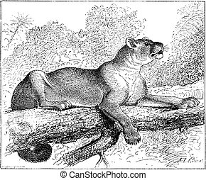 Puma or cougar, vintage engraving. - Puma or cougar or ...