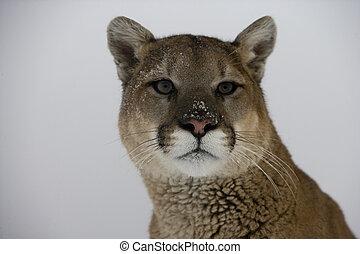 Puma or Mountain lion, Puma concolor, single cat head shot, ...