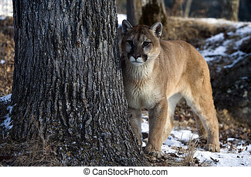 Puma or Mountain lion, Puma concolor, single cat in snow, ...