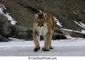 Puma or Mountain lion, Puma concolor, single cat in snow, ...