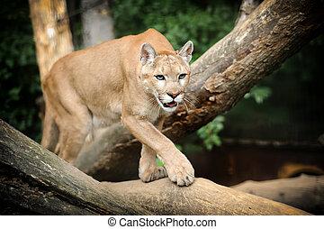 Puma Face in the wild