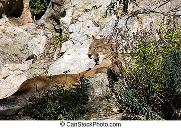 Puma (Puma concolor) - Resting puma on the rock