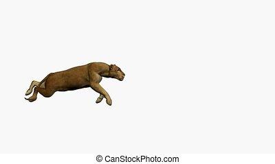 Puma Running - Puma running on a white background
