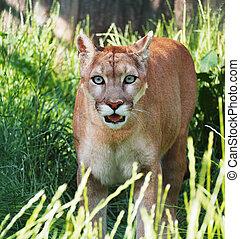 Puma serious close-up at sun looking at camera surprised