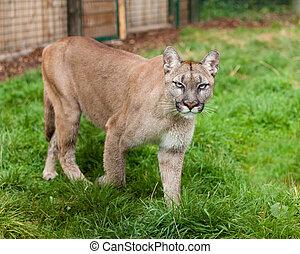 Puma Stalking Through Enclosure Felis Concolor