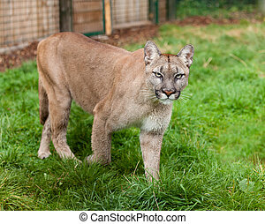 Puma Stalking Through Enclosure Felis Concolor