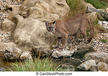 Puma Standing Staring on Rocks Felis Concolor