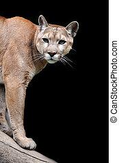 Puma - Close-up portrait puma on dark background