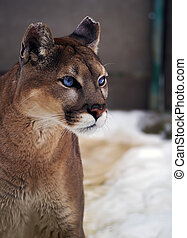 Puma with bright blue eyes at the snow