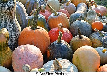 Pumpkin and winter squash varieties