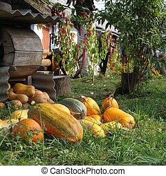 Pumpkin crop near the house