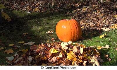 pumpkin garden leaf fall - Big ripe orange pumpkin in garden...