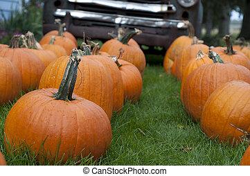 Pumpkin in Field 1