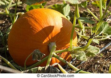 Pumpkin in field on poor lighting.