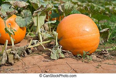 Pumpkin in field.