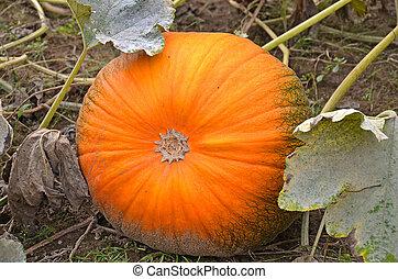 pumpkin in pumpkin patch