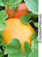 Pumpkin in the field