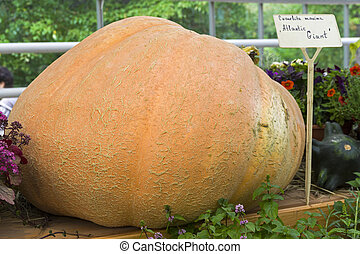 Pumpkin of the Atlantic Giant variety .