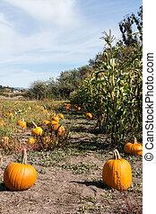Pumpkin patch and Corn field